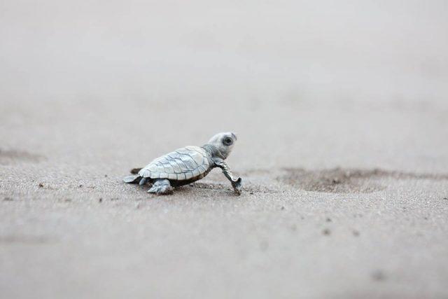 Velas beach, velas turtle festival